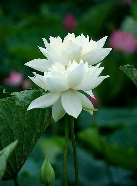 Floarea de Lotus-alb