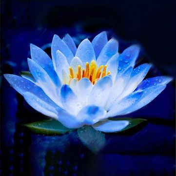 Floarea de lotus-albastra